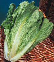 Lettuce - Crisp, Iceberg, Cos and Romaine