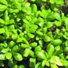 Purslane Golden