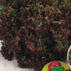 Lettuce Lollo Rosso (loose leaf) naturally nurtured seed