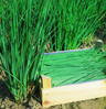 Chives naturally nurtured seed