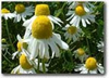 Chamomile naturally nurtured seed