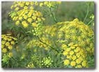 Dill  Goldkrone naturally nurtured seed