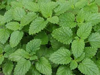 Lemon Balm naturally nurtured seed