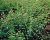 Oregano naturally nurtured seed
