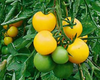 Tomato Golden Queen naturally nurtured seed