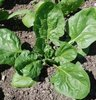Spinach Renegade F1 naturally nurtured seed