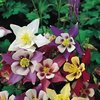 Aquilegia McKanas Giant Mixed