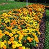 Marigold Crackerjack Mix