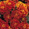 Marigold Spanish Brocade