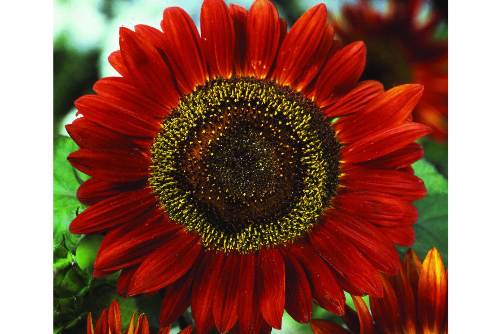 Moreveg Helianthus Red Sun