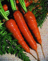 CARROT_CHATENAY_RED_CORED