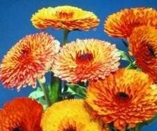 Calendula_Touch_of_Red
