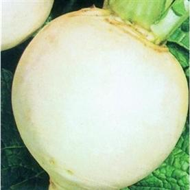 Turnip_snowball