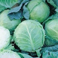 Cabbage - all