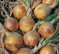 Onion and Shallot