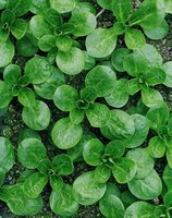 Corn Salad (also called Lambs Lettuce) Vegetable Seeds