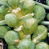 Brussels Sprouts Early Half tall