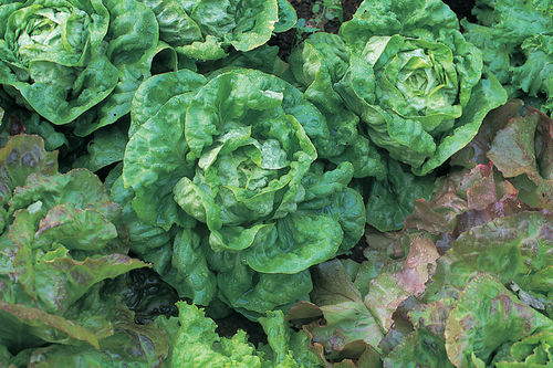 Lettuce All Year Round (butterhead)