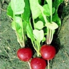 Radish Cherry Belle naturally nurtured seed