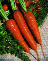Carrot Chantenay Red Cored