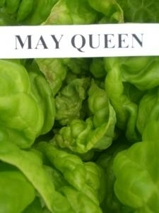 Lettuce May Queen (butterhead) naturally nurtured seed