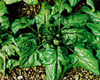Spinach Matador naturally nurtured seed