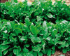 Rocket Rucola Coltivata naturally nurtured seed