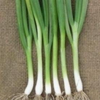 Spring Onion Summer Isle