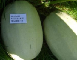 Squash Vegetable Spaghetti naturally nurtured seed