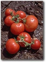 Tomato Saint Pierre naturally nurtured seed