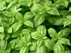 Basil, Nufar F1 naturally nurtured seed