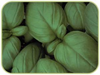 Basil, Sweet naturally nurtured seed