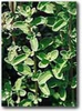 Marjoram, Sweet naturally nurtured seed