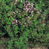 Thyme, Common naturally nurtured seed