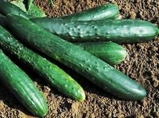 Cucumber Sweet Success F1