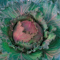Cabbage January King Extra Late