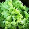 Lettuce Black Seeded Simpson (looseleaf)