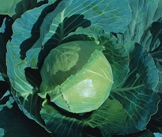 Cabbage Earliest of All