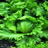 Lettuce Webbs Wonderful (iceberg type)