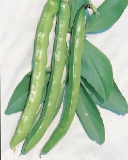 Broad Bean Imperial Green Longpod