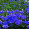 Cornflower Double Blue