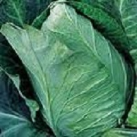 Cabbage Early Jersey Wakefield