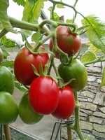 Tomato Quadro naturally nurtured seed