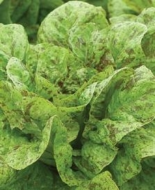 Lettuce Flashy Troutback (romaine) naturally nurtured seed