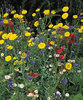 SPECIAL FLOWER MIX FOR BEES AND BUTTERFLIES