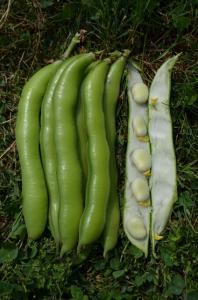 Broad Bean Ratio naturally naturally nurtured seed