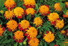 Marigold Tiger Eyes