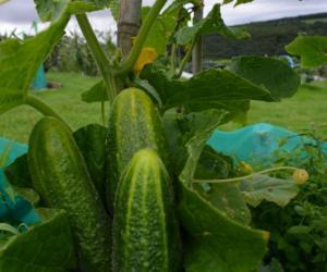 Cucumber Hokus naturally nurtured seed