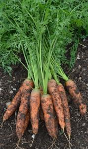 Carrot Milan naturally nurtured seed