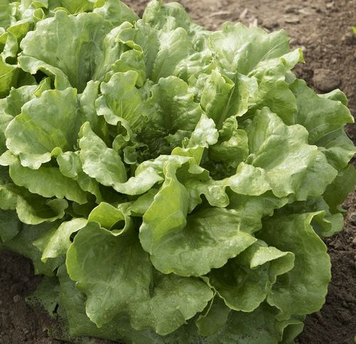 Lettuce Concept (crisphead) naturally nurtured seed